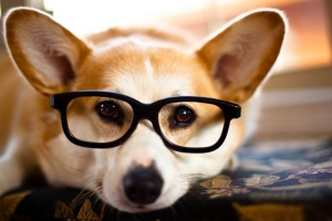 Dog with Glasses: the Corgeek